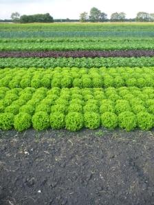 lettuce strips small
